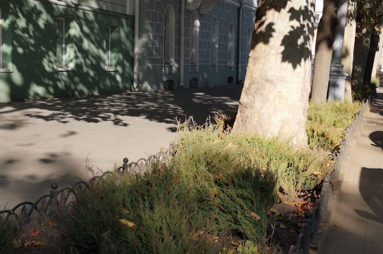 До конца ноября Пушкинскую озеленят можжевельником «фото»