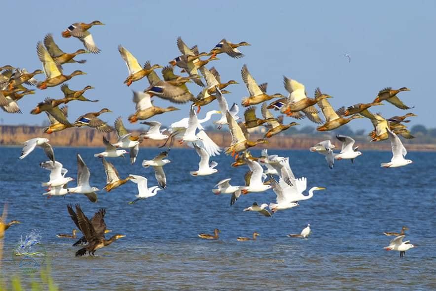 Нацпарк отправил охотничьих уток в свободный полет «фото»