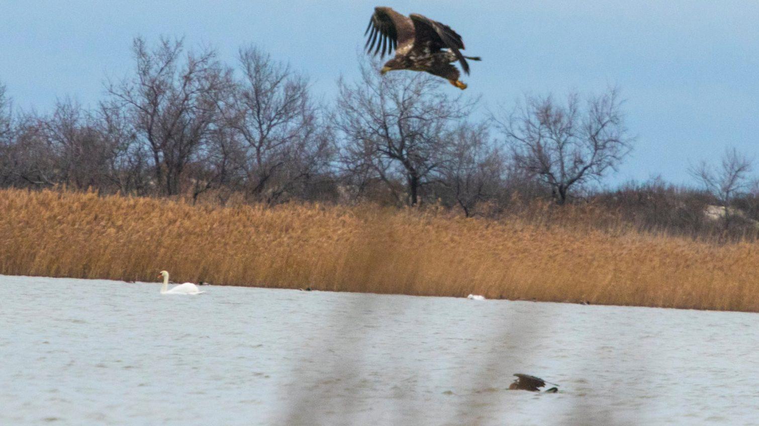 Редкие кадры: орлан-белохвост охотится в Одесской области (фото) «фото»