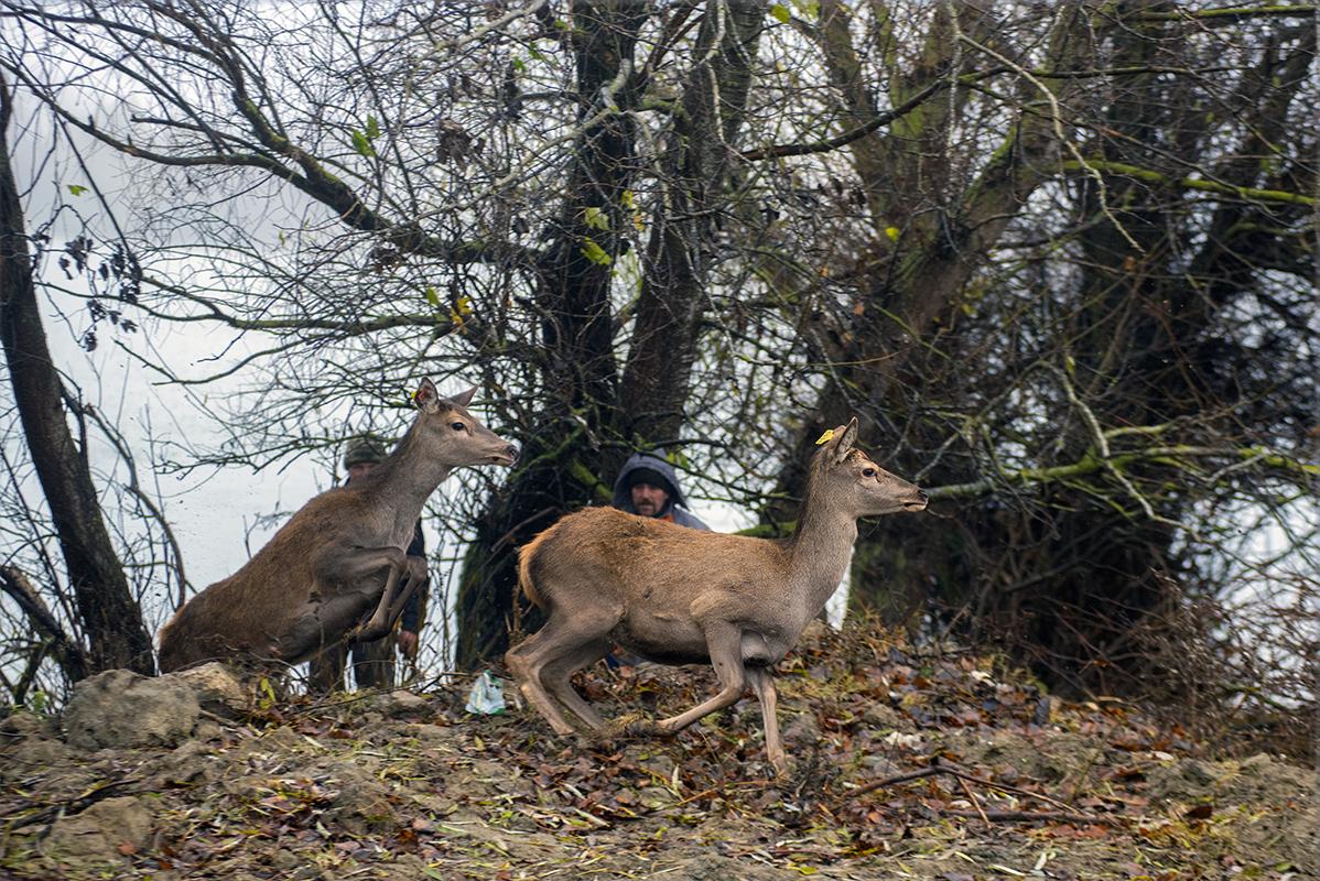 На острове в Одесской области теперь живут олени и лани (фото) «фото»