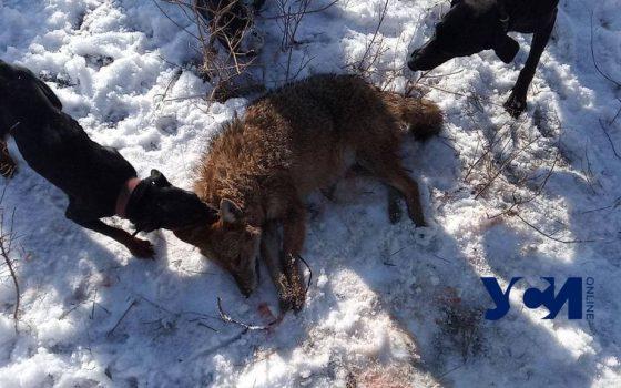 В Одесской области отстреливают шакалов из-за нападения на человека «фото»