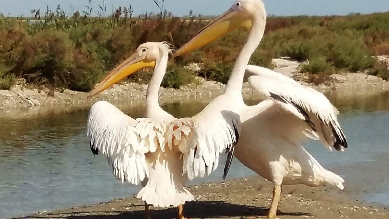 Пеликаны из ресторана нуждаются в помощи «фото»
