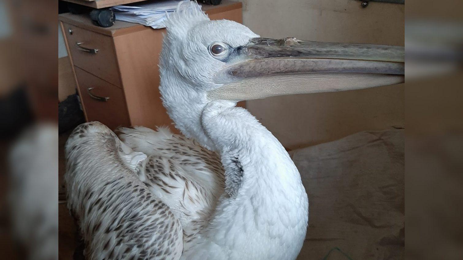 В Одесской области спасли пеликана: у него повреждено крыло (видео) «фото»