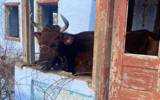 Полиция занялась скотоводом из Одесской области: он морил голодом коров (фото) «фото»