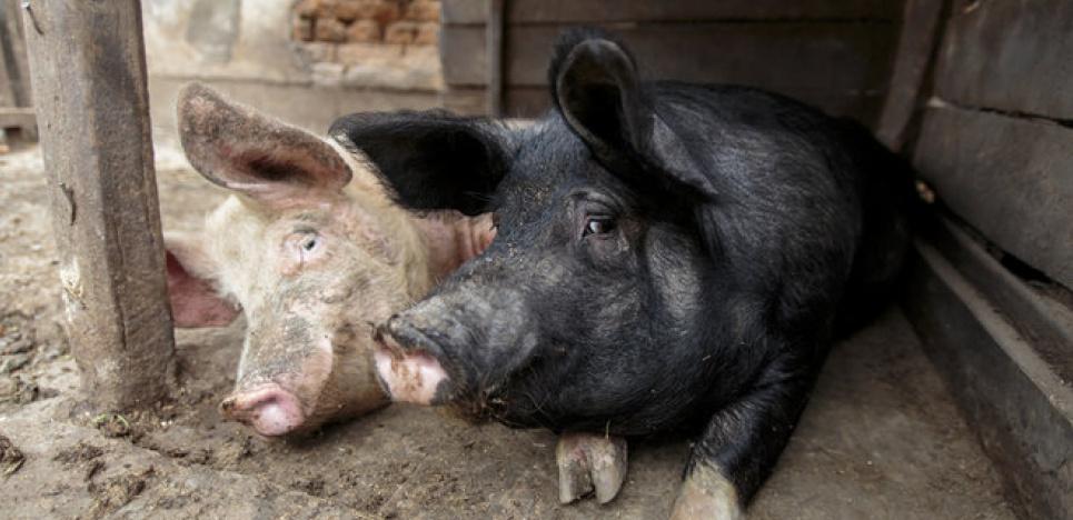 В Одесской области  африканской чумой свиней заболели 32 животных «фото»