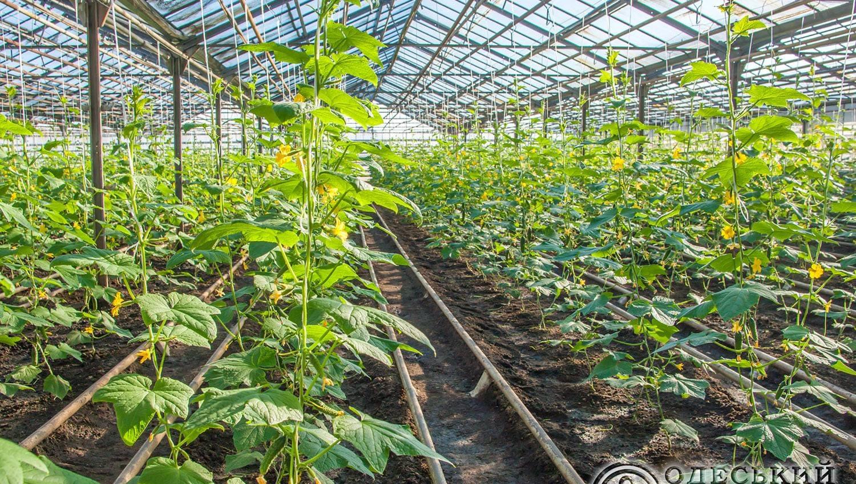 На Одесском припортовом выращивают овощи: собрали первый урожай огурцов (фото) «фото»