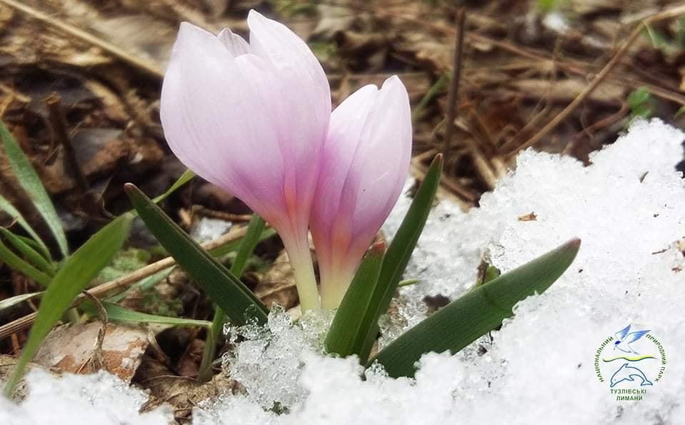 Весна скоро: в Одесской области зацвели первоцветы (фото) «фото»