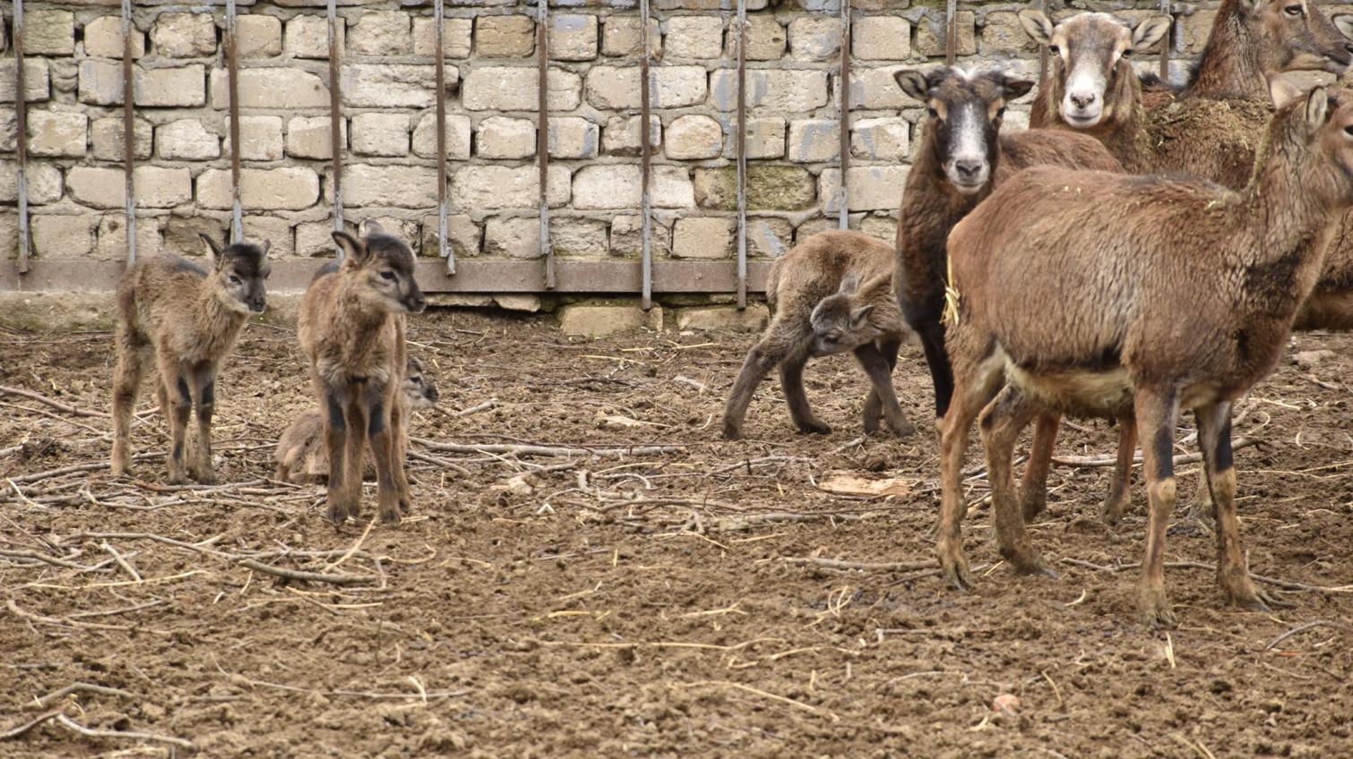 Пополнение: в одесском зоопарке родились малыши горного зверя (фото) «фото»