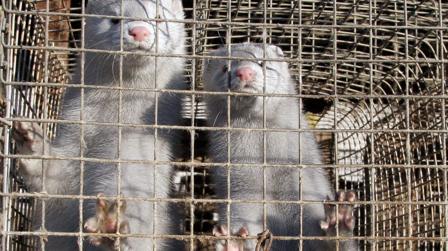 В Украине требуют запретить норковые фермы «фото»