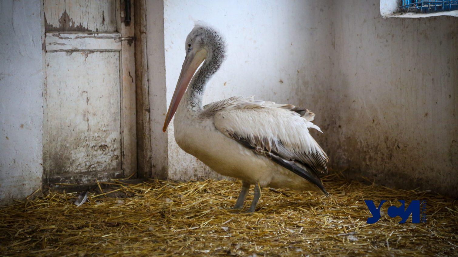 В одесском зоопарке спасли краснокнижного пеликана (фото, видео) «фото»