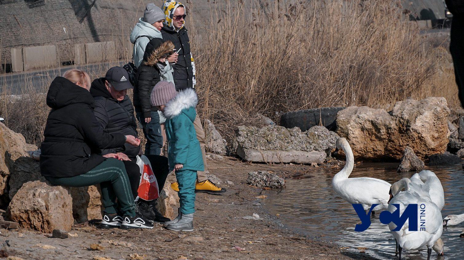 Десятки лебедей и уток: ажиотаж на переправе у Черноморска (фото) «фото»