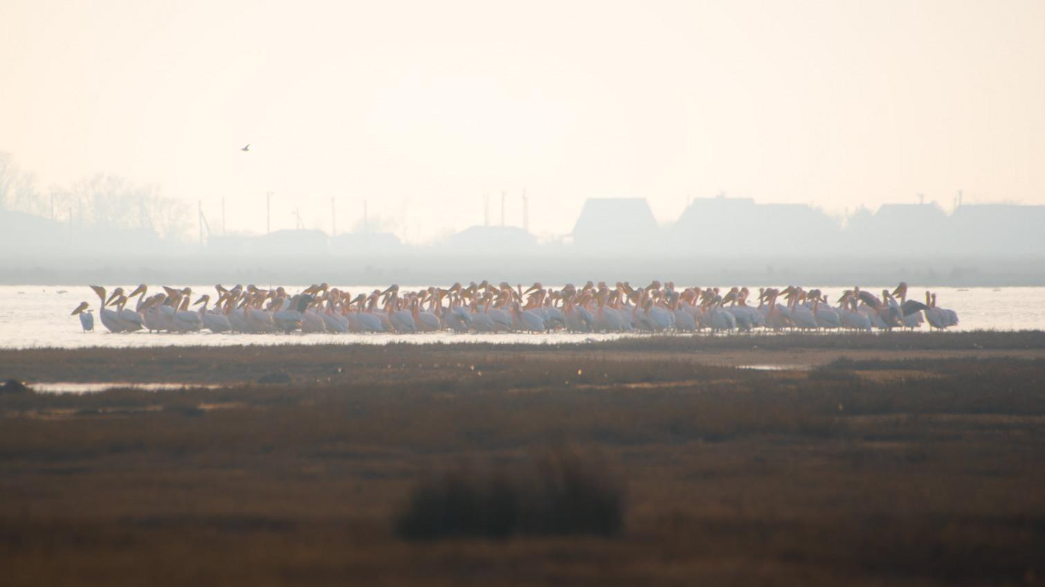 Птичье царство: в Одесскую область прилетели пеликаны, трескунки и хохотуньи (фото) «фото»