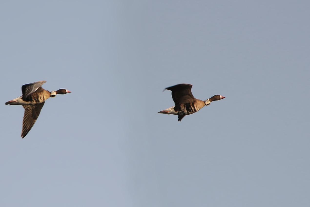 В Одесской области потеряли пару гусей, за ними следили орнитологи (фото)ОБНОВЛЕНО «фото»