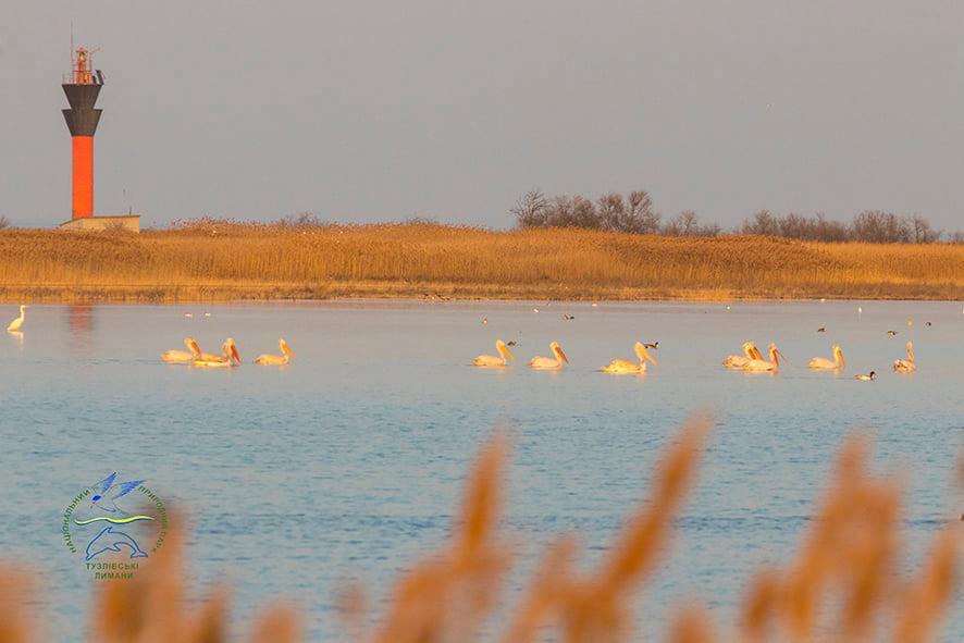 В Одесскую область прилетели редкие пеликаны (фото) «фото»
