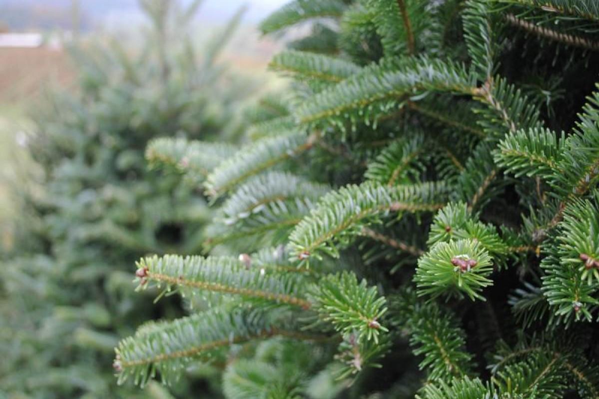 Новогоднее преступление: в Одессе мужчину оштрафовали за продажу елок «фото»