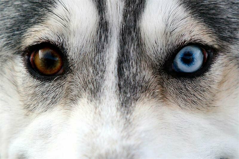 Избиение хаски в Одесской области: собака ослепла, а делом занимается суд «фото»