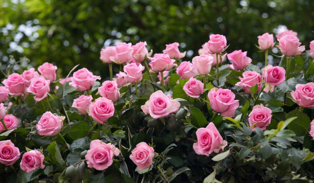 В парках и скверах Одессы высадят 86 тысяч роз (фото) «фото»
