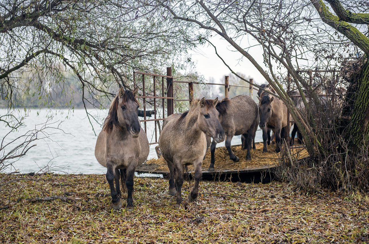 Прижились: у диких лошадей в дельте Дуная скоро будет пополнение «фото»