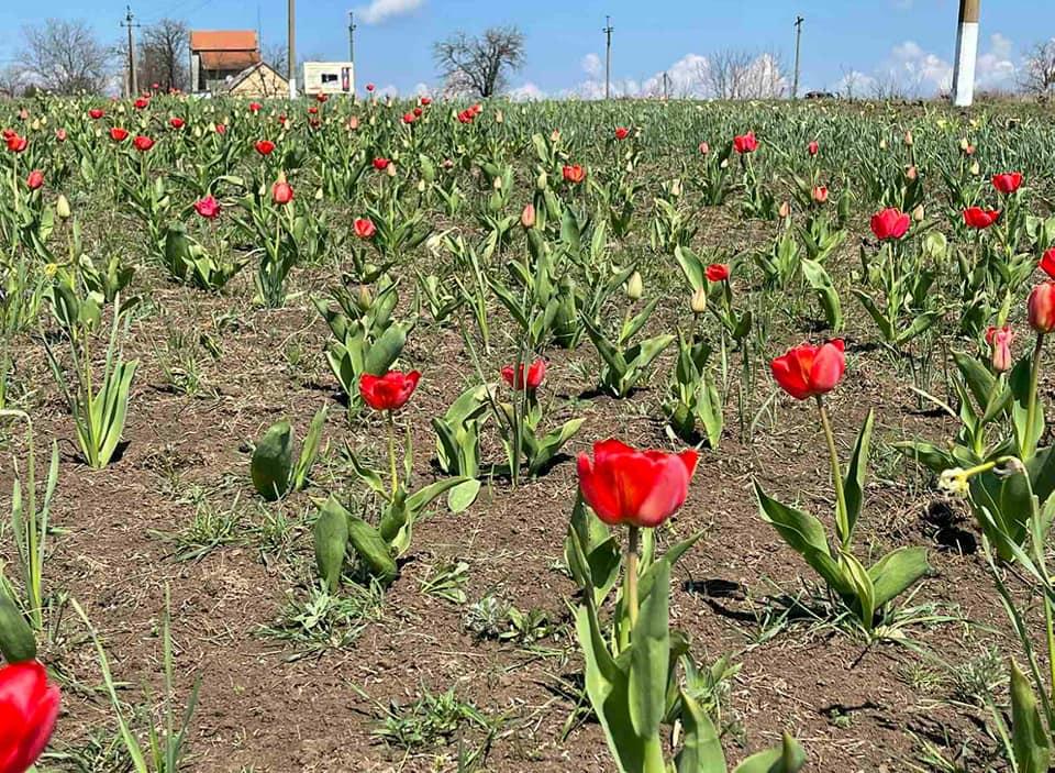 В Доброславе зацвело поле тюльпанов (фото) «фото»