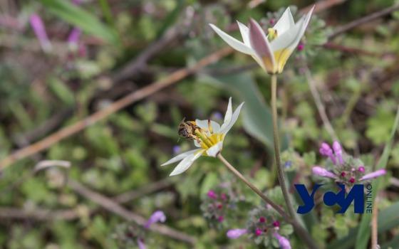 Весна и первоцветы на склонах Одессы: как выращивают растения у моря (фото) «фото»