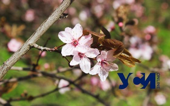 Цветущие тюльпаны и форзиция: поздняя весна в Ботаническом саду Одессы (фото, видео) «фото»