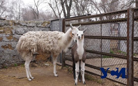 Весенние малыши: в одесском зоопарке — беби-бум (фото, видео) «фото»
