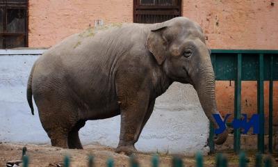 Дама с характером: история одесской слонихи Венди (фото, видео) «фото»