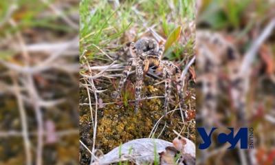 «Сезон тарантулов» в Одесской области: стоит ли бояться больших пауков? (фото) «фото»