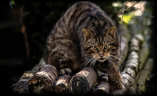 Волков меньше, лесных котов больше: в Одесской области подсчитали диких животных «фото»