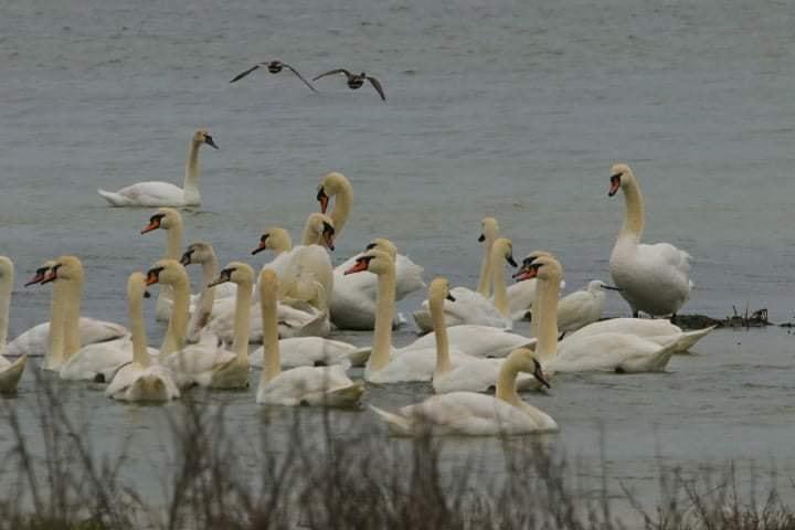 На Тузловских лиманах осели почти 700 грациозных лебедей (фото) «фото»