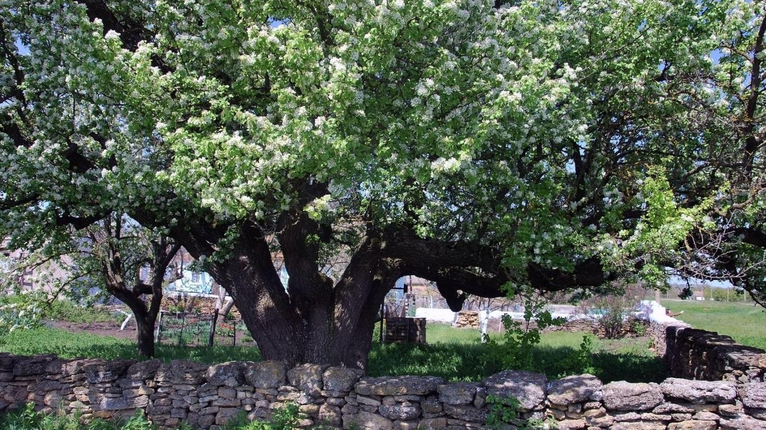 В Одесской области зацвела 400-летняя груша-долгожительница (фото) «фото»