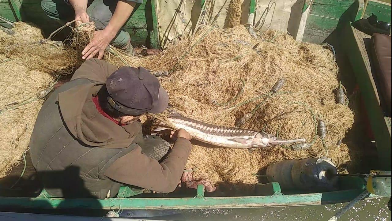 Севрюга на 48 тысяч: на Дунае поймали браконьеров (фото) «фото»