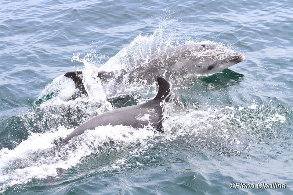 Дельфины Черного моря: где их можно увидеть и как им помочь (фото) «фото»