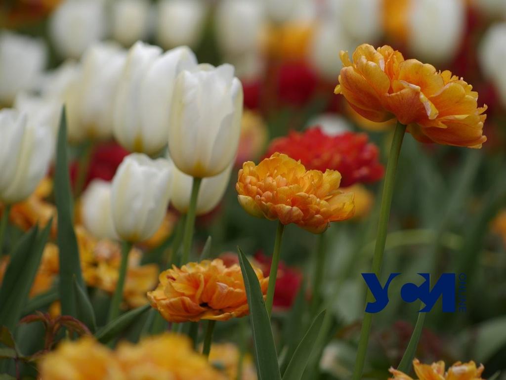 Одесскую набережную украсили сотни ярких тюльпанов (фото) «фото»