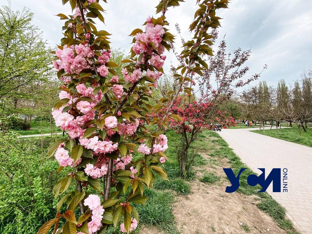 На поселке Котовского расцвела аллея сакур (фото) «фото»