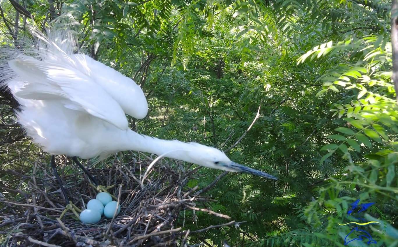 Редкие белые цапли начали гнездиться в «Тузловских лиманах», ожидая пополнения (фото) «фото»