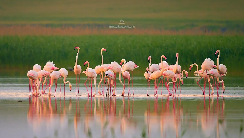 В дельте Дуная остановились более сотни экзотических розовых фламинго (фото) «фото»