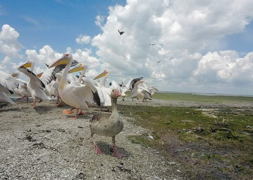 На Тузловских лиманах среди пеликанов прижился серый гусь (фото) «фото»