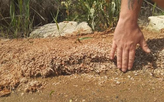 На Хаджибейском лимане снова мор креветок: экологи винят стоки (фото, аудио) «фото»