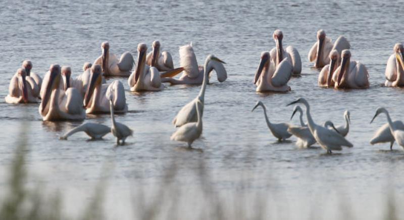 В Одесской области на волю выпустили двух пеликанов (фото) «фото»