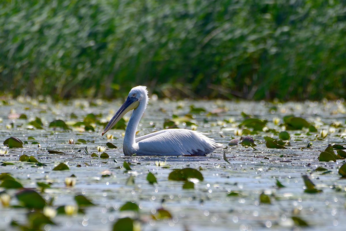 Спасти от исчезновения: в Одесской области установили искусственные гнезда для пеликанов (фото) «фото»