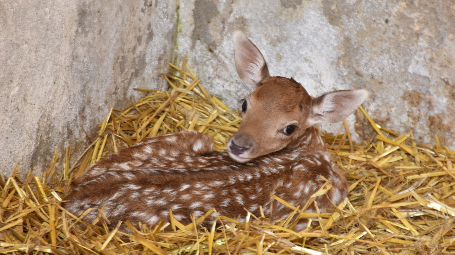 В Одесском зоопарке родились малыши европейской лани (фото) «фото»