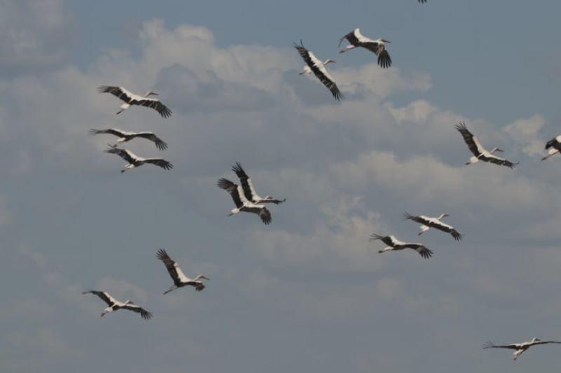 Заповедник в Одесской области заполонили белые аисты – птицы готовятся к миграции (фото) «фото»