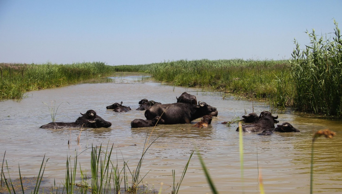 Ревайлдинг: водяных буйволов снова поселят в экопарке Картал под Орловкой (видео) «фото»