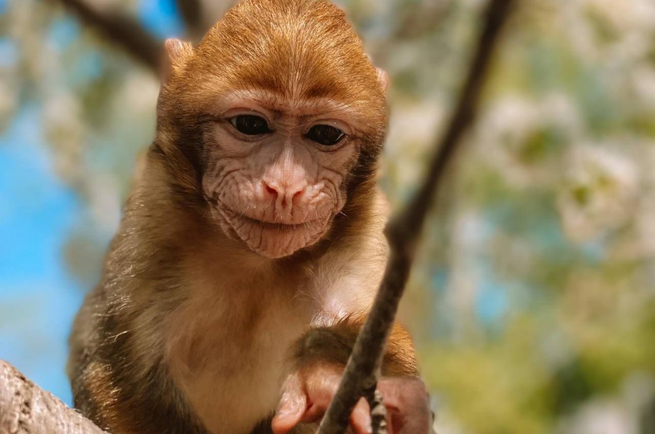 Спасенная из контактного зоопарка обезьянка стала членом семьи (фото) «фото»