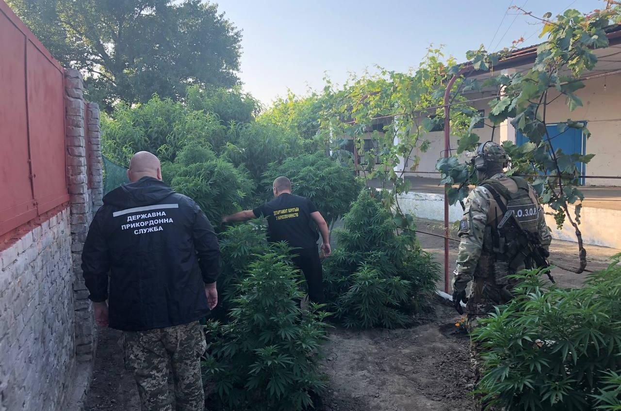 В Одесской области обнаружили полтысячи кустов конопли (фото, видео) «фото»