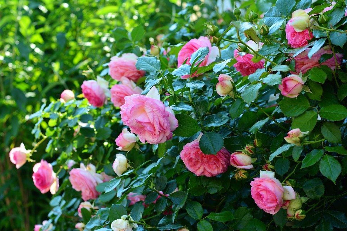 В Одессе воруют и ломают саженцы деревьев и кусты роз «фото»