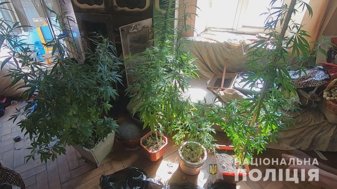 За «ферму» каннабиса на Пироговской одесситу грозит 7 лет тюрьмы (фото, видео) «фото»
