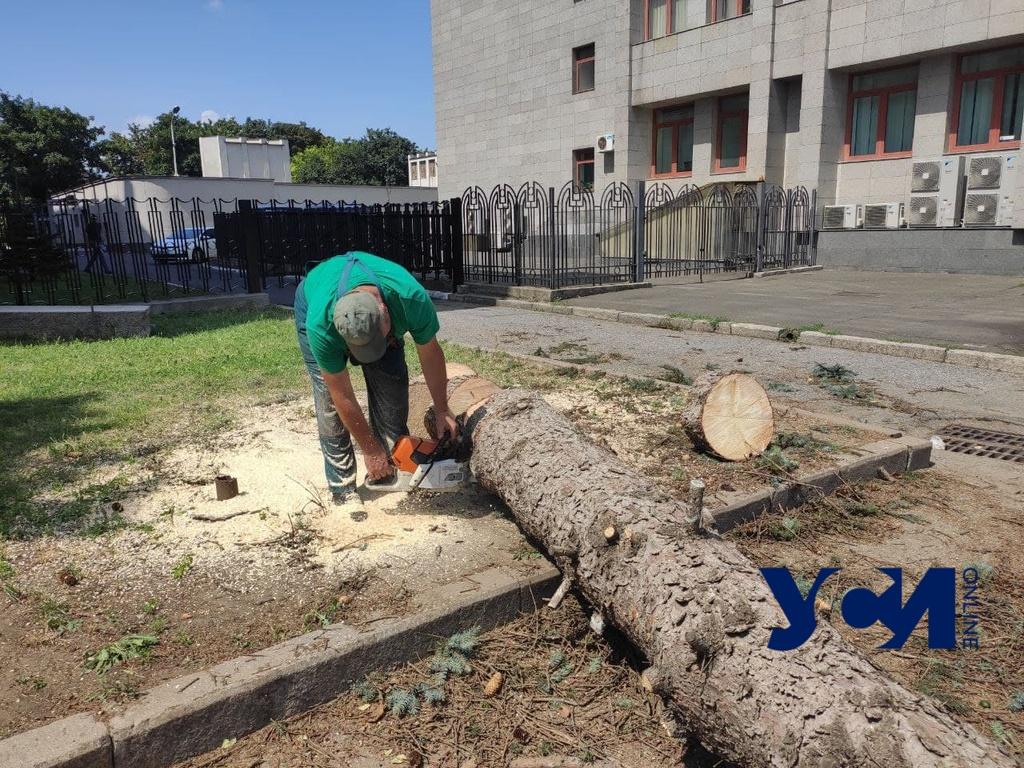 Скандал с голубыми елями под одесской ОГА: экологи говорят, что спилили живые деревья (фото, аудио) «фото»