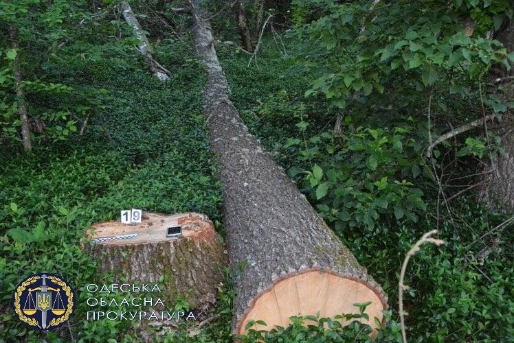 Вырубка леса на 3 миллиона: в Одесской области задержаны 5 человек, один из них депутат (фото, аудио) «фото»